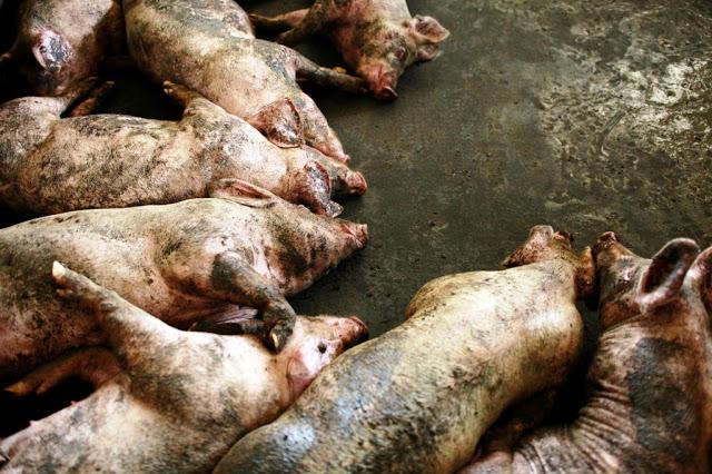 ríada de cerdos muertos